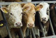 Homepage solutions for other livestock