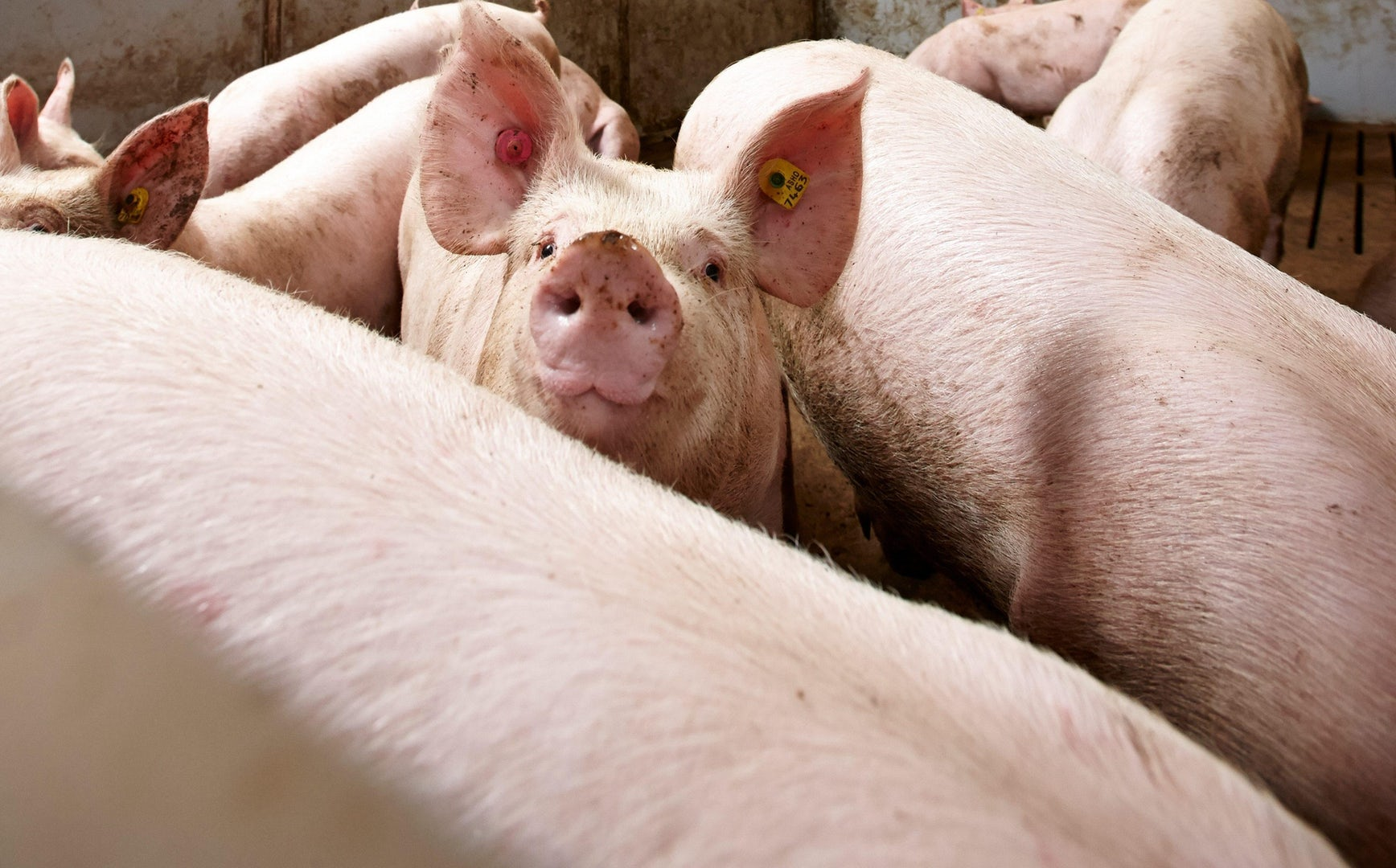 Homepage solutions for pigs