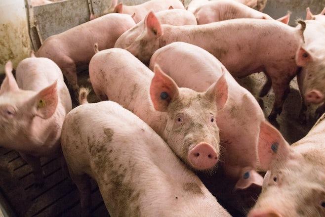 Pig Solutions Header 4