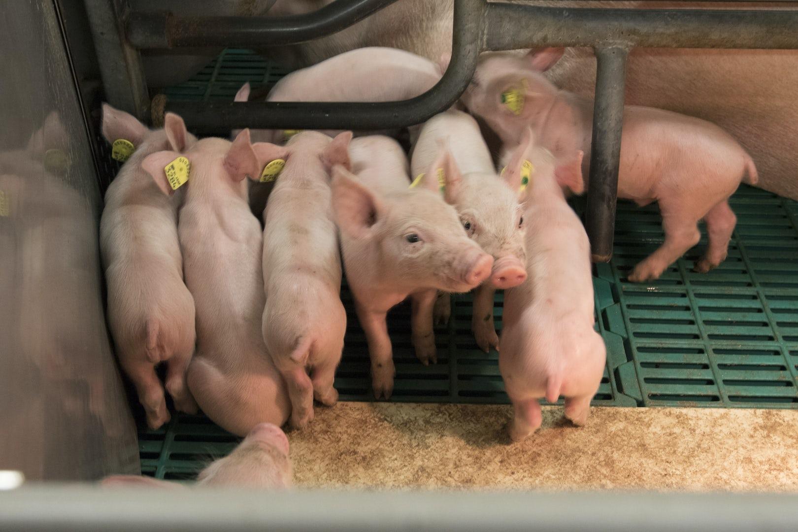 Pig solutions Header 3
