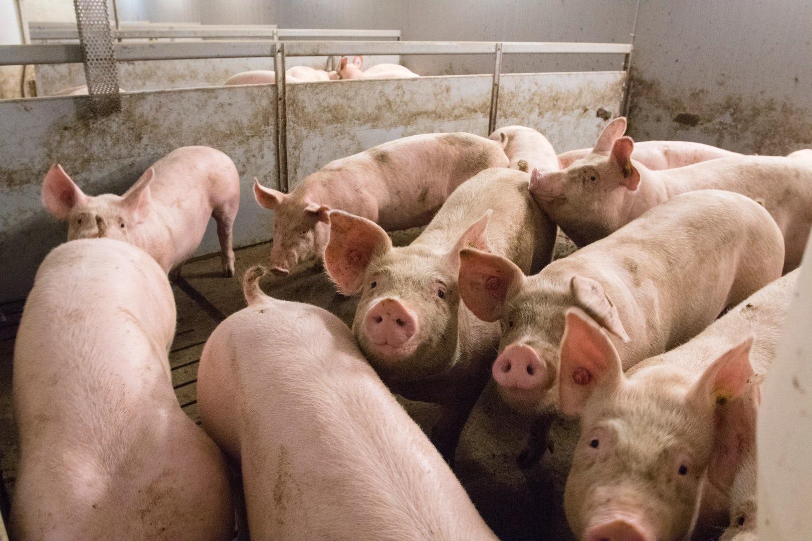 Pig solutions Manure Header 1