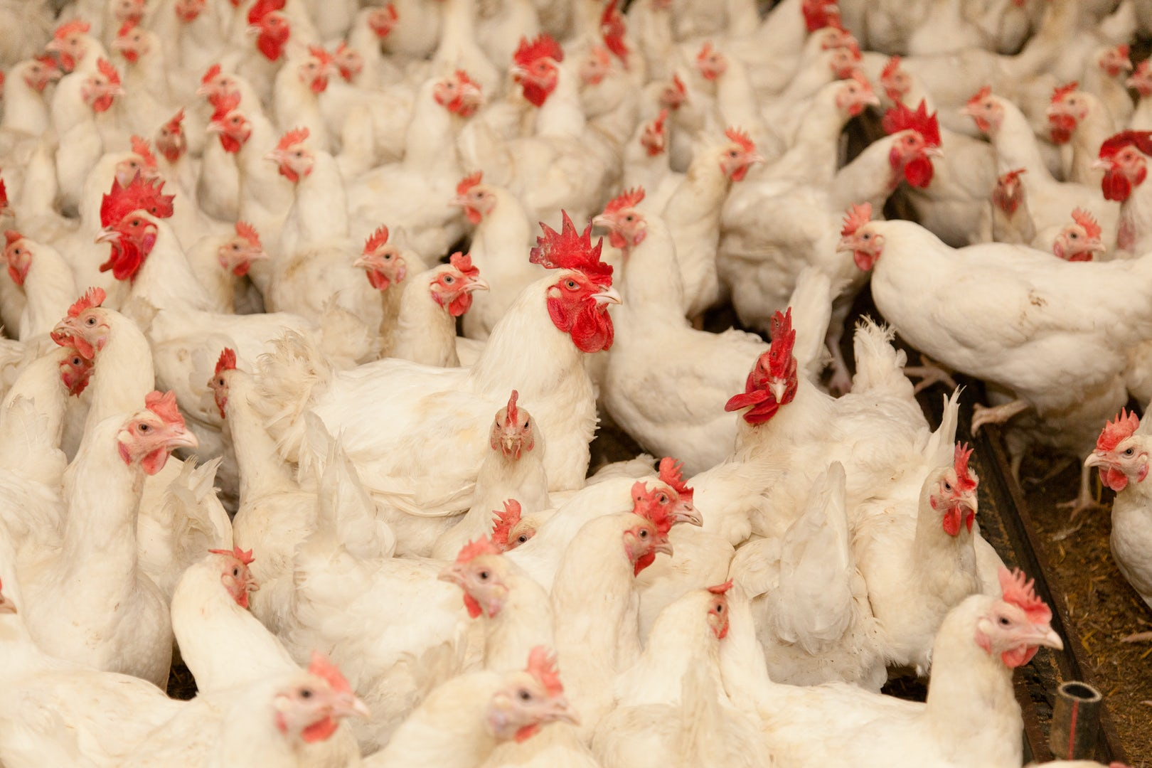 Poultry solutions Header 3