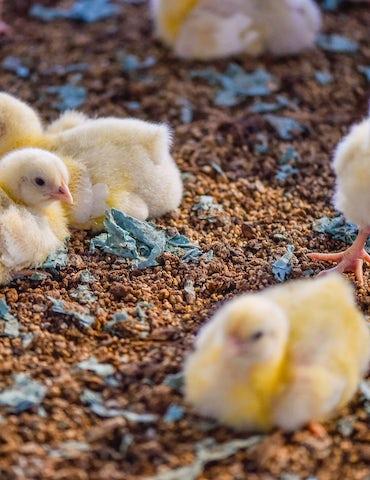 Vleeskuikens in grondhuisvesting