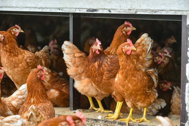 New release Fortica system for poultry market2