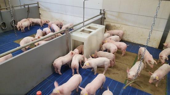 Pig solutions Animal weighing item2 varkensweger