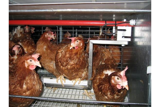 Animal weighing item 2 Dierweegschale