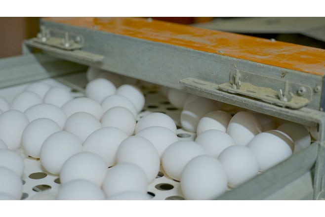 Eggs laying percentage
