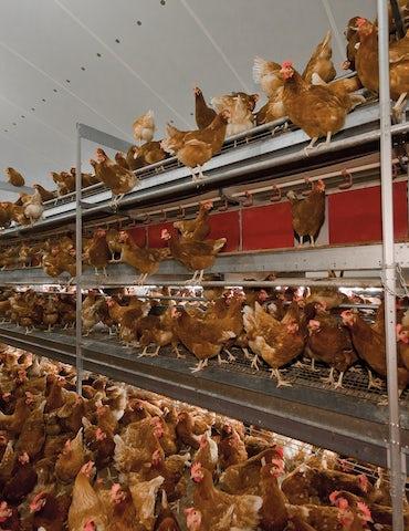 Poultry Solutions lighting nest control item2 neststuring copy