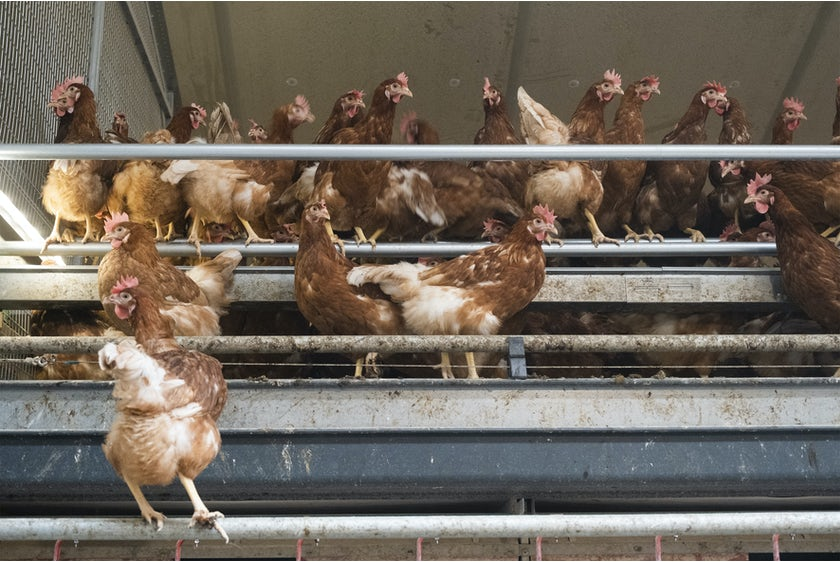 Belgian family Baudoin opens modern organic poultry house in Wallonia16