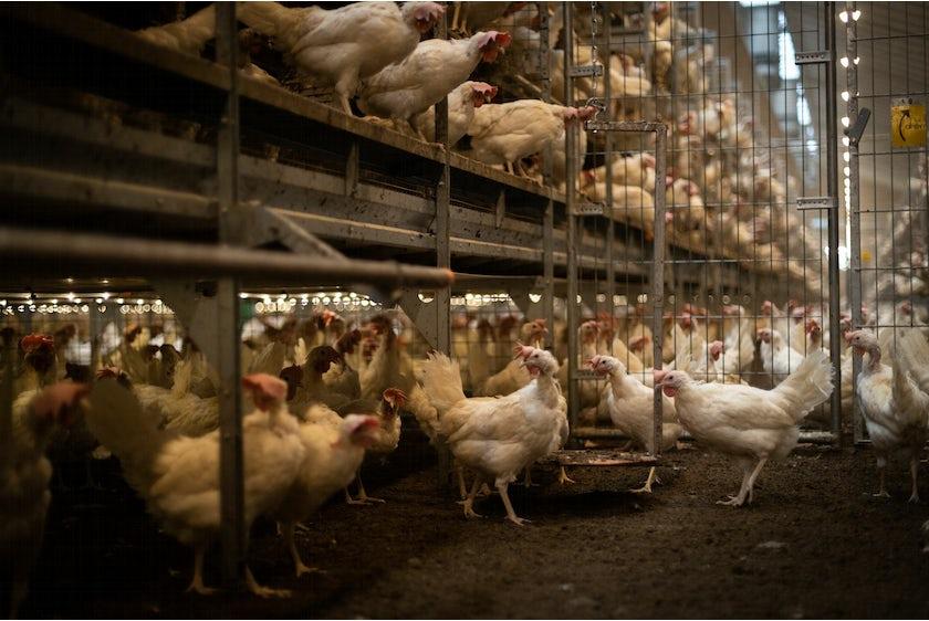 Hotraco vanleendert pluimvee dierweging