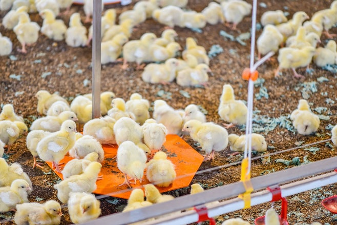 Netherlands8 Broiler farmer upgrades from Orion to Fortica system