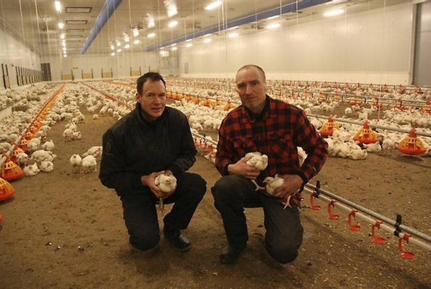Sweden2-Fortica-successfully-applied-in-Swedish-free-range-chicken-farm.jpg