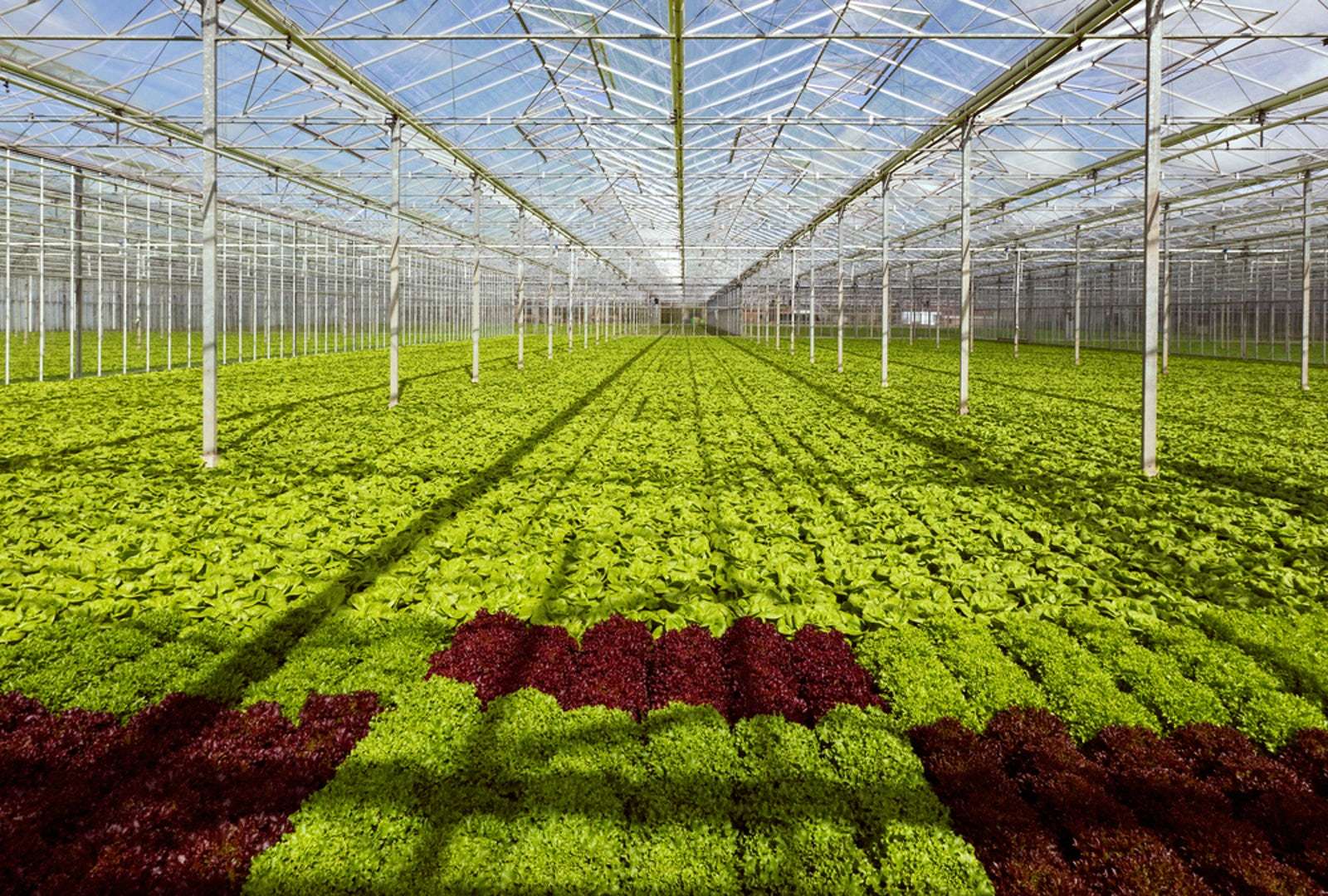 Greenhouse Lettuce Sla
