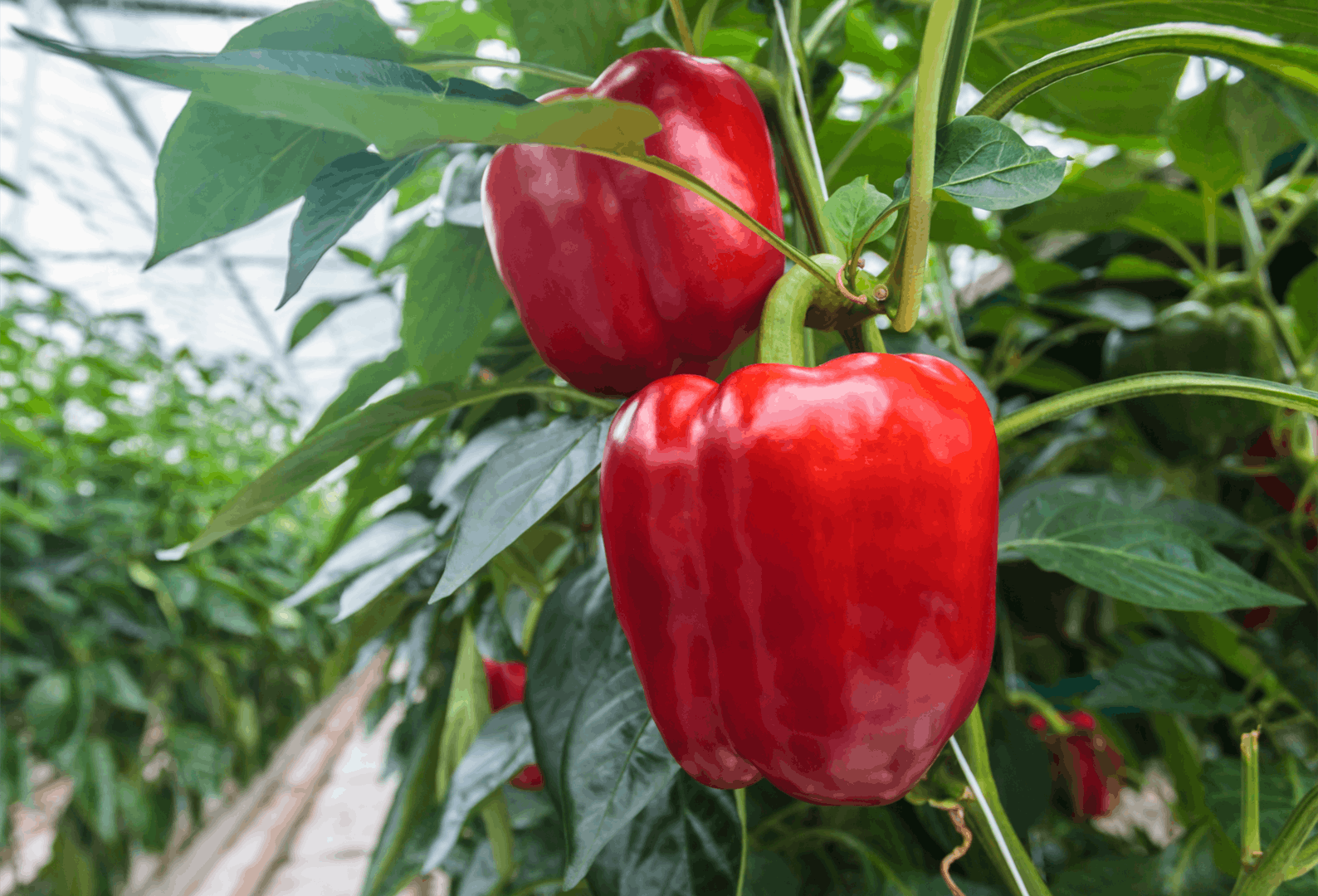 Sweet pepper Paprika Red