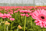 Gerbera in Greenhouse Hotraco