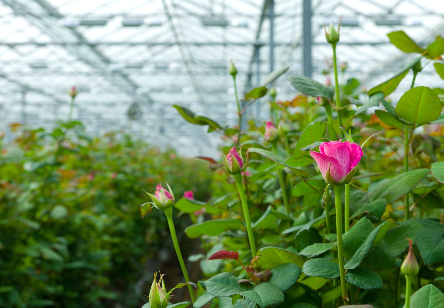 Pink roses Greenhouse