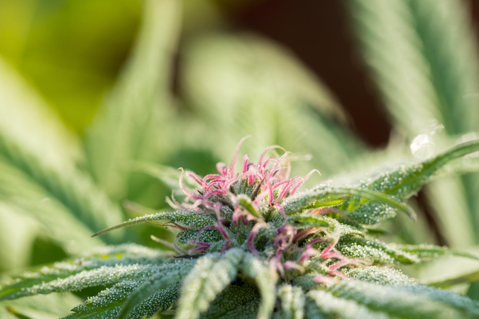 Medicinal Cannabis Weed 01