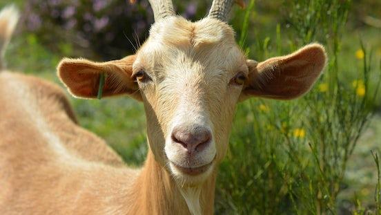 Goat 2737355 1920