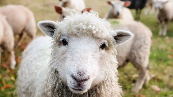 Sheep nutrition guide